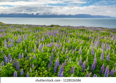 Mountain Landscape with Purple Lupine Flowers - Iceland