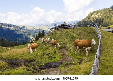 Mountain landscape with wooden fence,, shelter and grazing cows