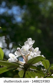 Mountain Laurel In Bloom  North Carolina