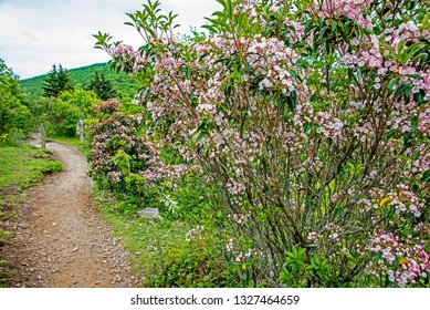 Mountain Laurel blooming in the landscape on a mountain peak.