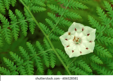 Mountain Laurel Blossom (Kalmia latifolia) in ferns