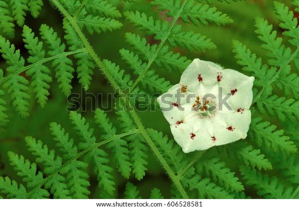 Mountain Laurel Blossom (Kalmia latifolia) in ferns