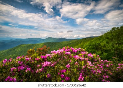 Mountain laurel and rhododendron flowers and dappled sunlight on the ridges near Craggy Gardens along the Blue Ridge Parkway above Asheville, NC. Spring flowers in bloom surrounded by dramatic sky.