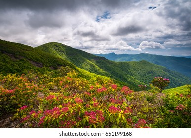 Mountain Laurel Spring Flowers Blooming in the Appalachian Mountains near Asheville North Carolina along the Blue Ridge Parkway