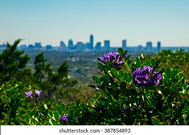 Mountain Laurels blooming during Spring on top of Mount Bonnell Austin Texas Skyline Cityscape Background natures beauty in Central Texas