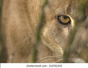 Mountain Lion (Cougar) portrait, with focus on the eye. Captive animal.