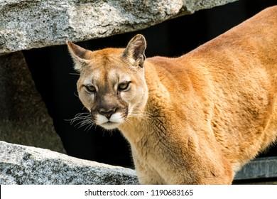 Mountain Lion, Cougar, Puma Concolor Predator, on Rocksn