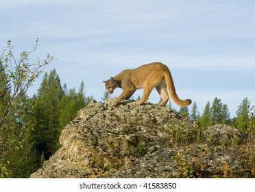 Mountain lion, cougar, or puma (felis concolor or puma concolor) on rocky cliff in western North America.