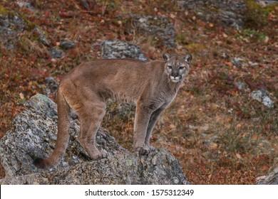 Mountain Lion, Cougar, Puma in montana, USA