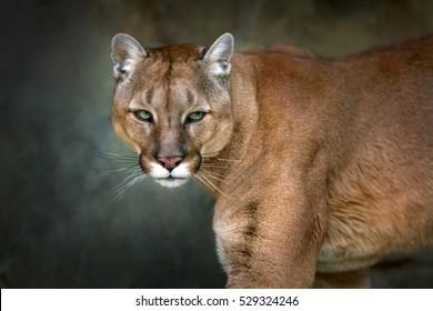 Mountain lion , cougar, puma portrait in motion on dark background