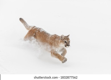 Mountain lion or cougar running down hillside of snow.