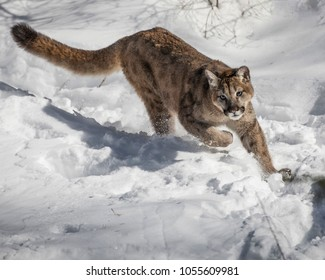 Mountain Lion Cub in the snow