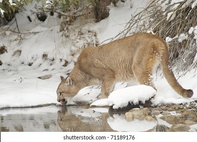 Mountain Lion in deep snow drinking from pond during winter time