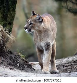Mountain Lion - Felis concolor