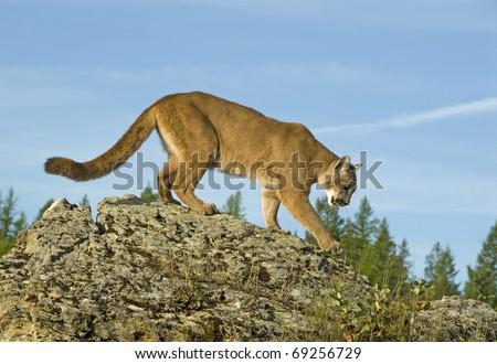 c58a47a522c0e Mountain Lion (felis concolor or puma concolor) walks along a mountain  ridge.