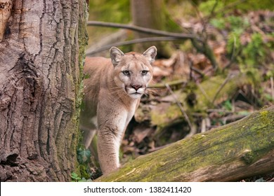 Mountain lion female watching prey in dense forest of Glacier National Park. North American cougar in wilderness of Rocky Mountains hides behind a tree at Northwestern Montana. Puma concolor couguar
