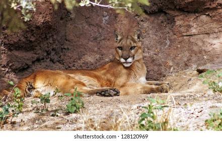 Mountain lion in her den