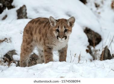 Mountain Lion kitten in the snow