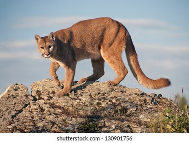 Mountain Lion in Montana. Very territorial and on lookout