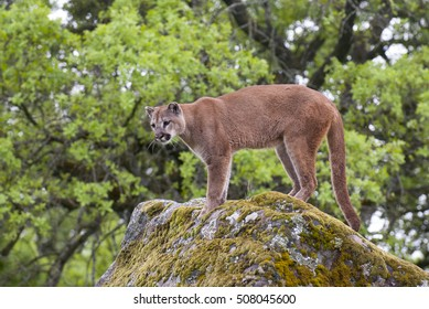 Mountain lion on lichen covered rocks