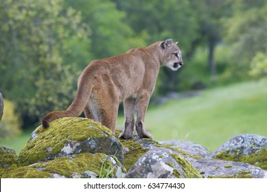 Mountain Lion on moss covered rocks near Yosemite National Park during spring time