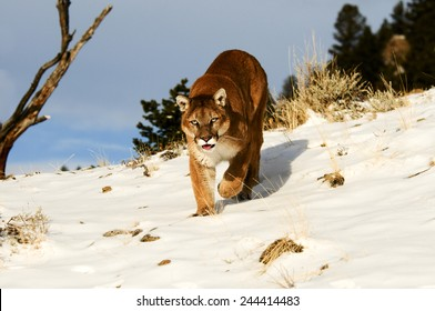 Mountain Lion on snowy hill