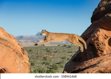 mountain lion, panther,  jumping between sandstone ledges with blue sky and Utah desert in background