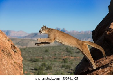 mountain lion, panther,  jumping from sandstone ledge, mid air, with blue sky and Utah desert in background