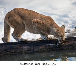 Mountain Lion at a pond