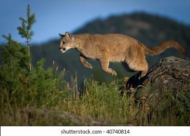 Mountain Lion pouncing