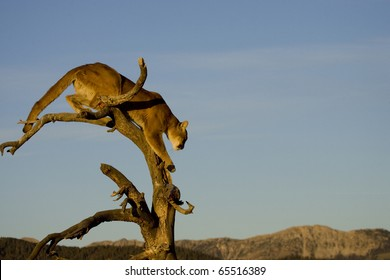 Mountain Lion prepares to jump from a tree