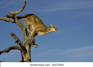Mountain Lion prepares to leap from tree