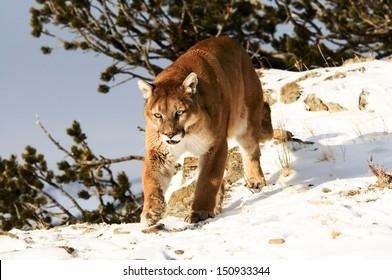 Mountain Lion Prowling