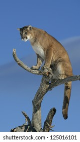 Mountain Lion- Puma - Cougar in tree