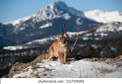 Mountain Lion in The Rocky Mountains