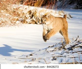 Mountain Lion Running