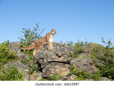 Mountain lion searches for prey amid rocky outcropping.