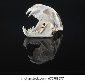 Mountain lion skull with mouth open photographed on black plexiglass.