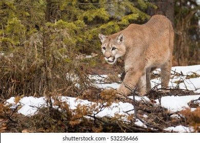 mountain lion with snowy wooded background