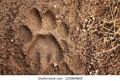 Mountain lion tracks in the Superstition Mountains of Arizona