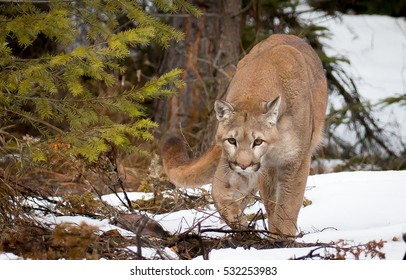 mountain lion walking out of the tree line with snowy background