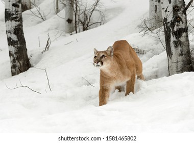 Mountain Lion in the winter snow
