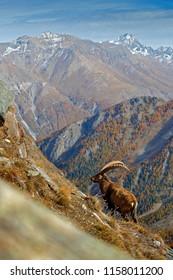 Mountain mammal in the Alp habitat. Alpine Ibex, Capra ibex, autumn orange larch tree in hill background, National Park Gran Paradiso, Italy. Autumn landscape wildlife scene with beautiful animal.