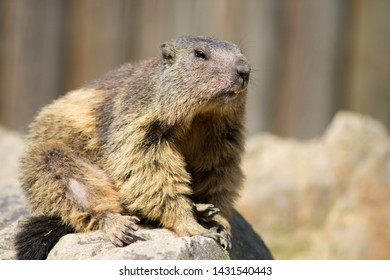 Mountain Marmot, also Alpine Marmot (Marmota marmota) is a species of rodent inhabiting the mountainous regions of Central and Southern Europe.