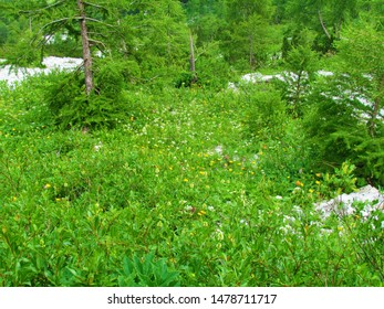 Mountain meadow blooming with white and yellow flowers and larch trees in the back in Triglav national park and Julian alps under Crna Prst in Slovenia - Shutterstock ID 1478711717