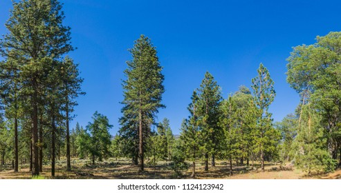 Mountain meadow of tall evergreen trees in the San Bernadino National Forest in southern California near Los Angeles.