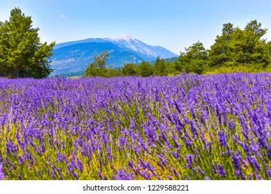 mountain Mont Ventoux with lavender field in foreground, village Ferrassières, Provence, France