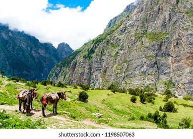 Mountain mules in Annapurna Conservation Area, a hotspot destination for mountaineers and Nepal's largest protected area. Transportation in the mountains of Nepal is still carried out by mules
