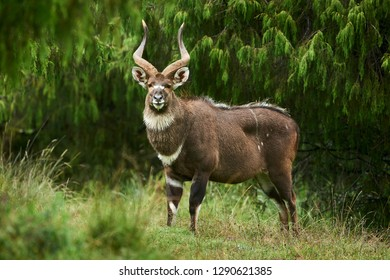 Mountain Nyala (Tragelaphus buxtoni), a beautiful endangered antelope that lives in a small area of central Ethiopia.
