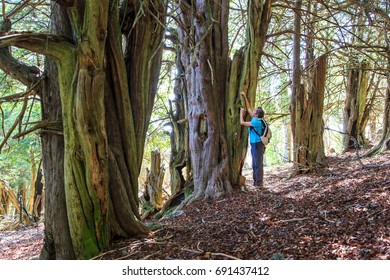 Mountain Palentina. Spain. Yew-tree forest